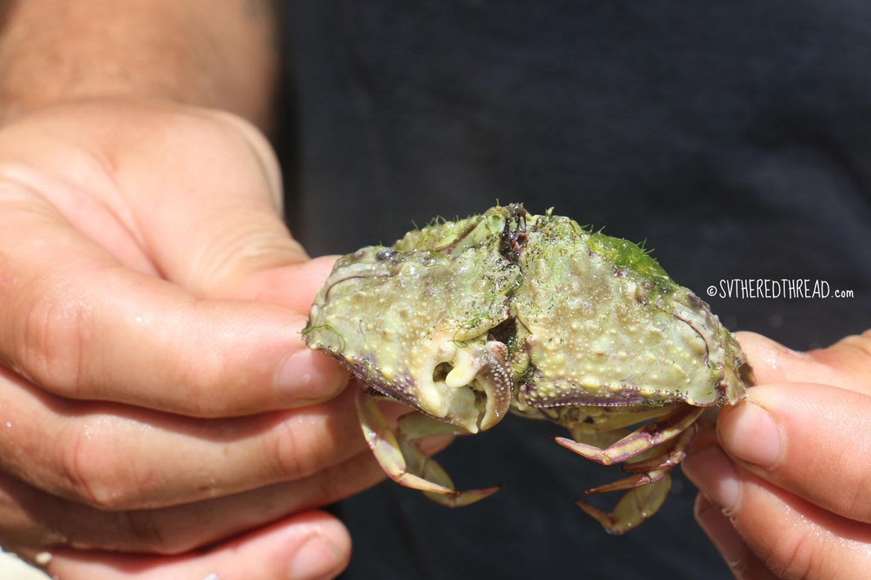 #Kenutu_Box crab